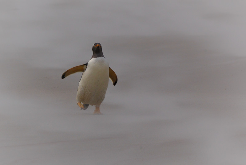 Gentoo penguin on windy beach in the Falklands