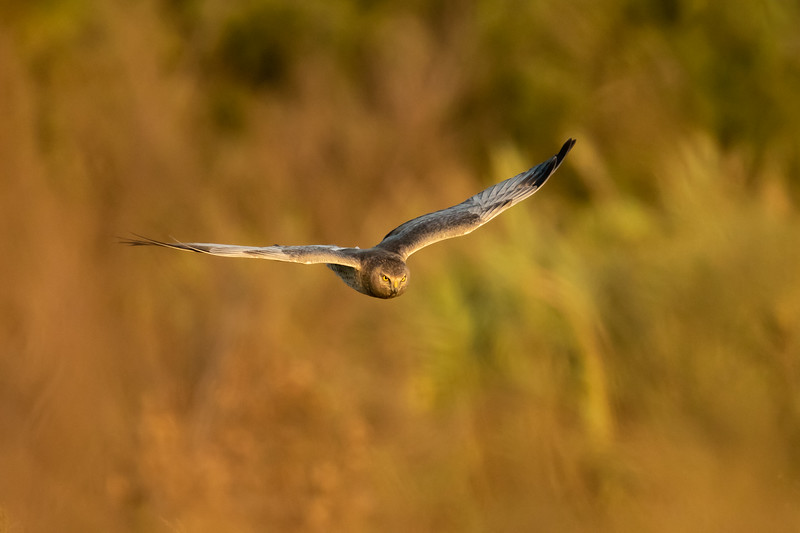 Northern harrier, Circus hudsonius, in flight at sunrise in San Diego, California, United States.