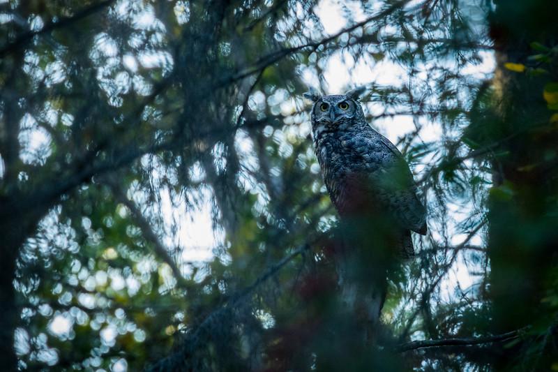 Great horned owl, Bubo virginianus, at dusk in St. Albert, Alberta, Canada.