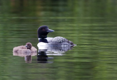 Common Loon and Baby