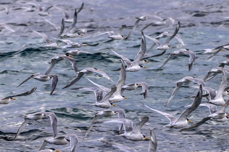 Crested terns, Maria Island