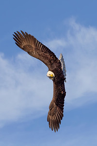 Bald Eagle 20200316 0434 Vertical Clouds