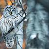 Barred owl, Strix varia, perched in St. Albert, Alberta, Canada.