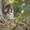 Boreal owl, Aegolius funereus, singing in Jasper National Park, Alberta, Canada.