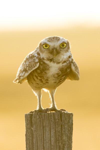 Burrowing owl, Athene cunicularia, perched on a fencepost near Medicine Hat, Alberta, Canada.
