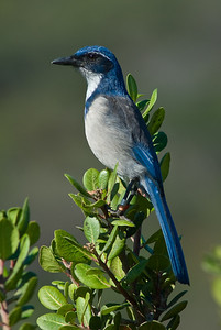 Island Scrub-Jay (Aphelocoma insularis) endemic to Santa Cruz Island of the Channel Islands, CA