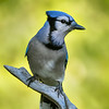 Blue jay, Cyanocitta crystata, on a perch in St. Albert, Alberta, Canada.
