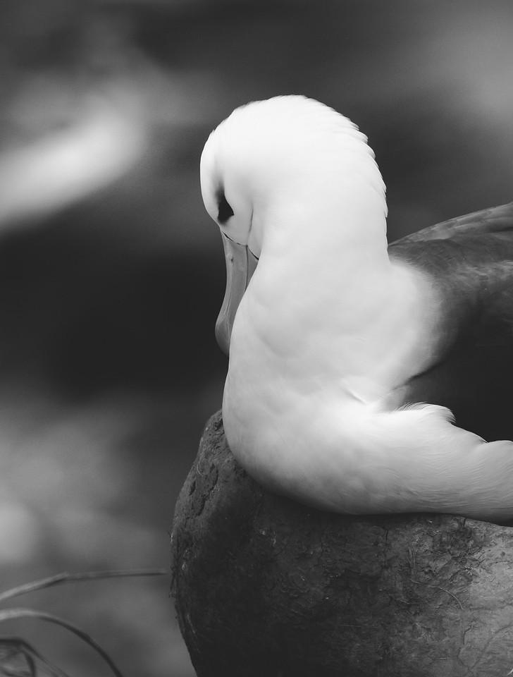 Black-browed albatross on nest, Saunders Island, Falklands