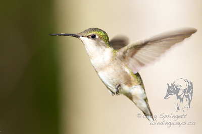 Portrait of a Ruby Throated Humming Bird