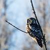 Northern hawk owl, Surnia ulula, near Westlock, Alberta, Canada.