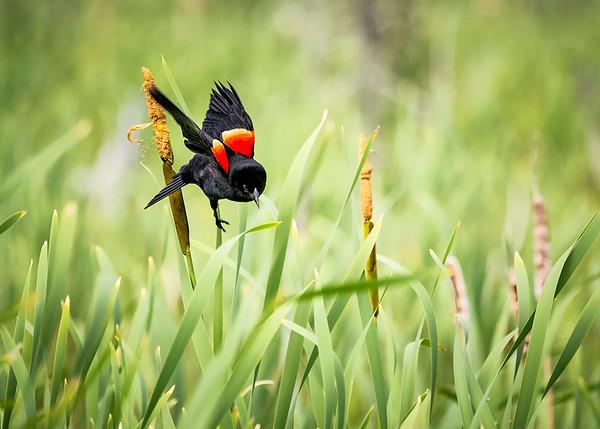 Red-Winged Blackbird Flight