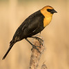 Male yellow-headed blackbird, Xanthocephalus xanthocephalus, on a cattail near Calahoo, Alberta, Canada.