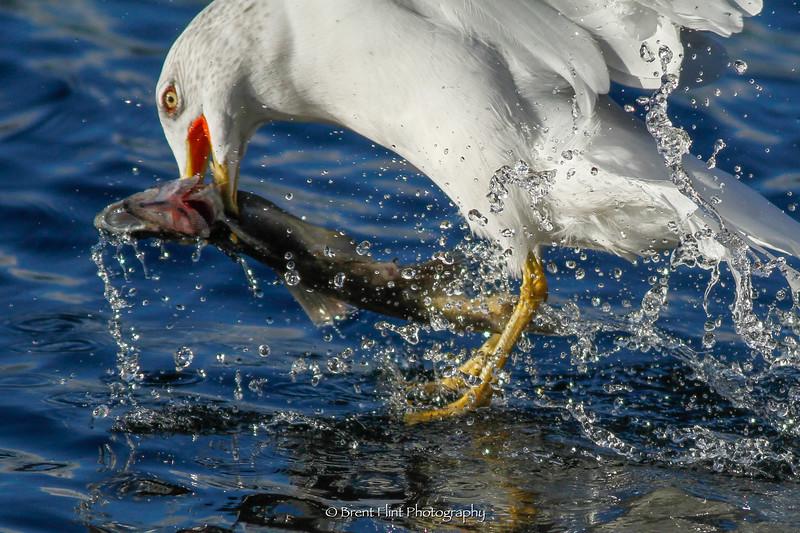 DF.3470 - ring-billed gull taking salmon, Kootenai County, ID.