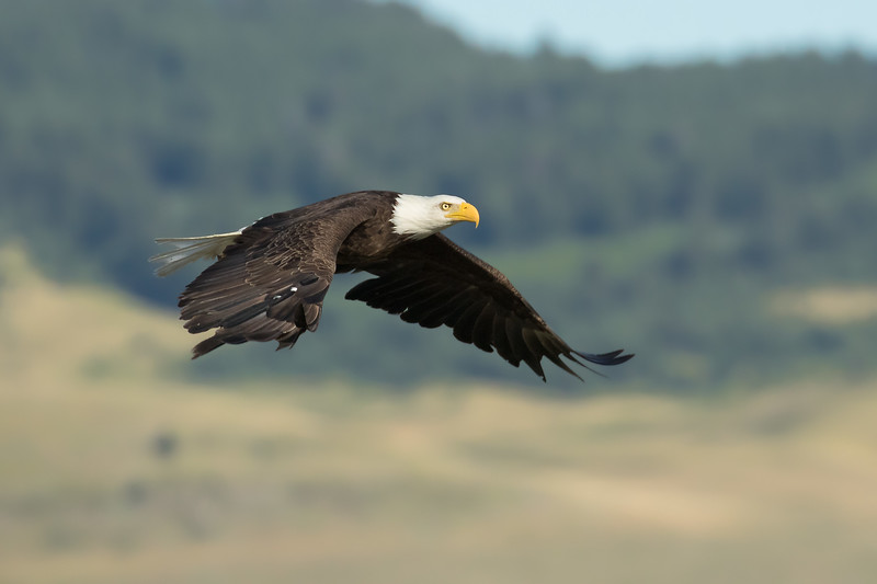 Bald eagle, Haliaeetus leucocephalis, in flight near the Porcupine Hills, Alberta, Canada.
