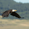 Bald eagle, Haliaeetus leucocephalis, in flight near the Porcupine Hills, Alberta, Canada.