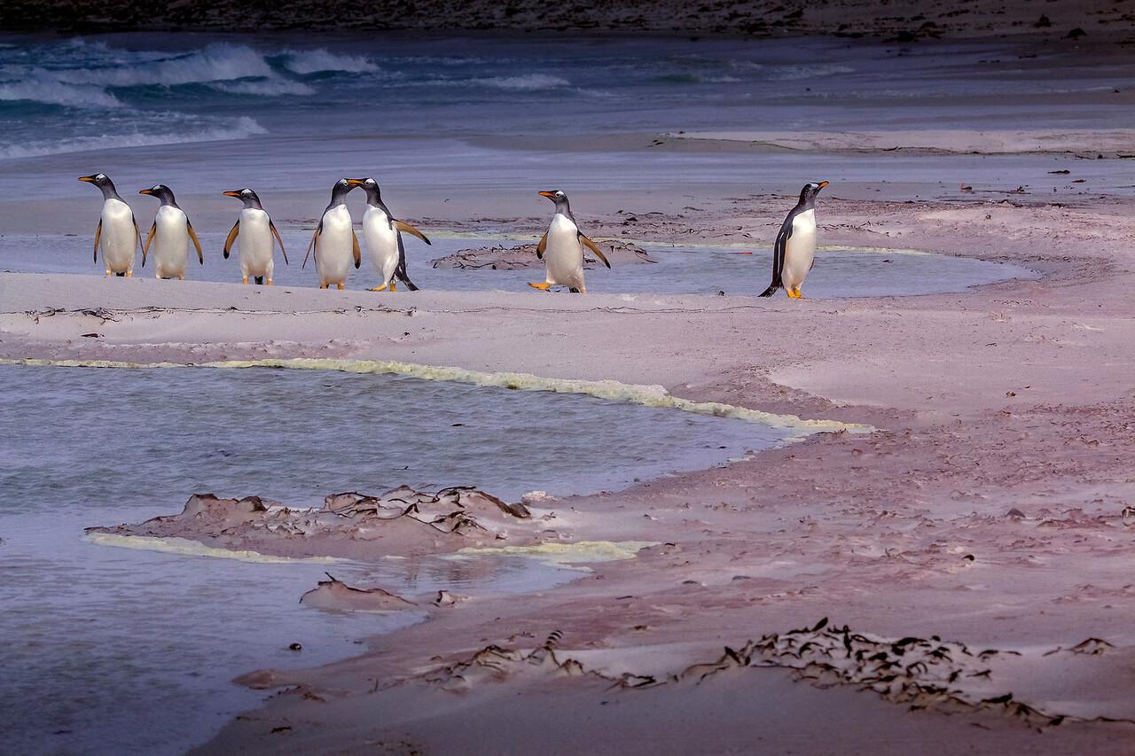 King penguins, Volunteer Point, Falklands