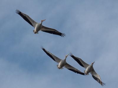 American Pelicans