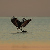 Great blue heron, Ardea herodias, landing on an exposed rock in Delta.
