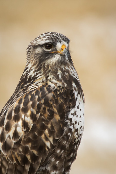 Rough-legged hawk, Buteo lagopus, portrait near Claresholm, Alberta, Canada.