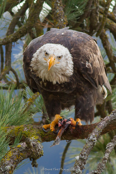 DF.5007 - Bald eagle feeding on kokanee salmon in a ponderosa pine tree, Lake Coeur d'Alene, ID.