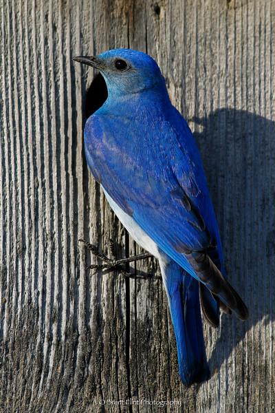 DF.1654 - male mountain bluebird on nestbox, Bonner County, ID.