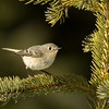 Ruby-crowned kinglet, Regulus calendula, perching in Jasper National Park, Alberta, Canada.