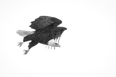 Bald eagle, Haliaeetus leucocephalis, in flight near Westlock, Alberta, Canada.
