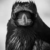 common_raven-8-4