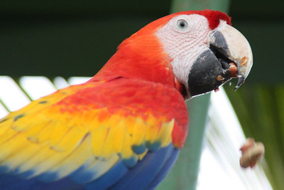 Macaw Eating