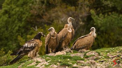 Lammergeier (Gypaetus barbatus) and Griffon Vulture (Gyps fulvus)