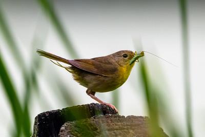 Female Warbler33