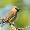 Cedar waxwing, Bombycilla cedrorum, with nesting material near Dawson Creek, British Columbia, Canada.