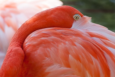 Flamingo Eye