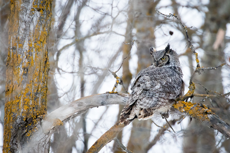Great horned owl, Bubo virginianus, perched on poplar tree in Elk Isand National Park, Alberta, Canada.