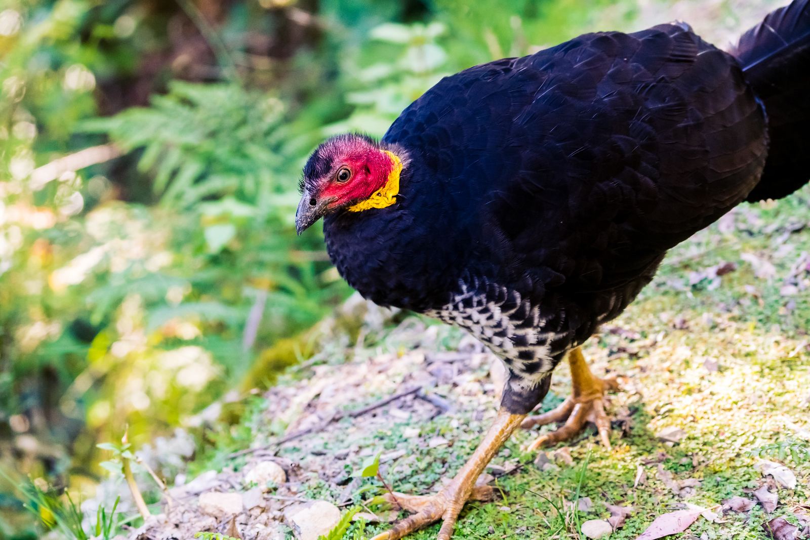 The Australian Brush Turkey
