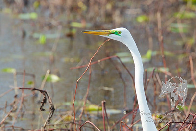 Egret peeking around the Reeds