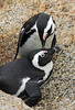 Two Penguins<br /> Boulders Beach, South Africa