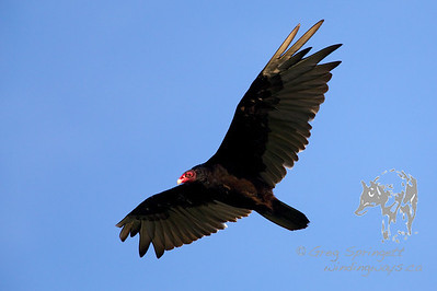 Turkey Vulture on the wing