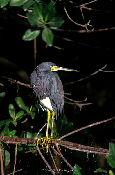 """S.2703 - Tricolor heron, J.N. """"Ding"""" Darling National Wildlife Refuge, FL."""