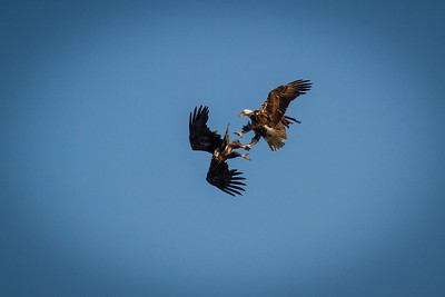 Bald Eagles 1403-2371