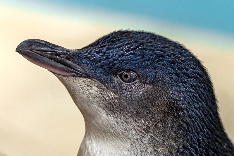 Little penguin, South Australia