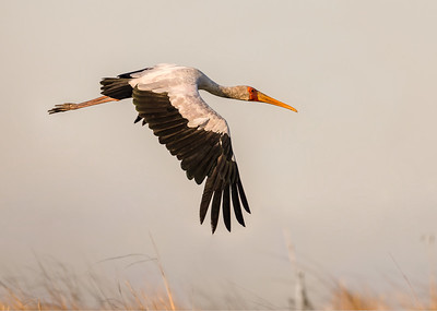 Yellow-billed Stork fly by