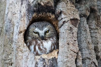 Northern saw-whet owl, Aegolius acadicus, in Edmonton, Alberta, Canada.