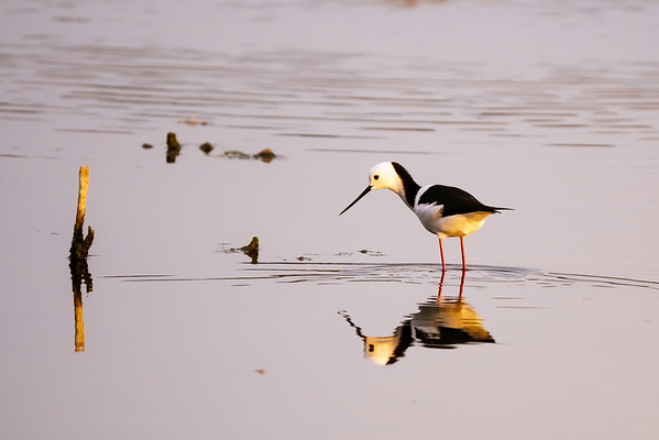 White Headed Stilt
