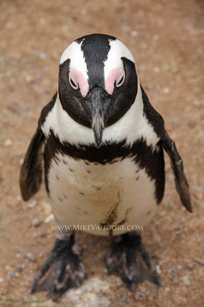 African or 'Jackass' penguin<br /> Boulders Beach, South Africa