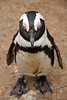 African or 'Jackass' penguin<br /> Boulders Beach, South Africa