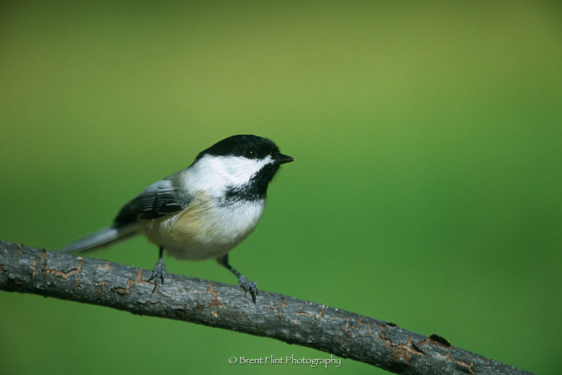 S.1853 - black-capped chickadee, Douglas County, CO.