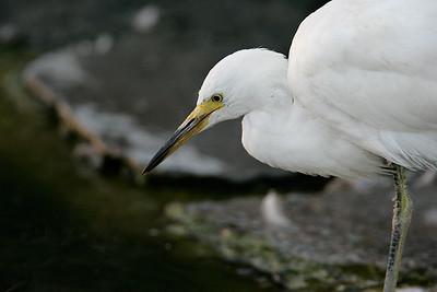 snowy egret  _S8Q0254