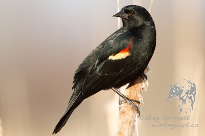 Portrait of a Redwing Blackbird