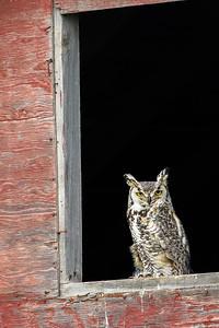 Great horned owl, Bubo virginianus, perched on a barn near Vulcan, Alberta, Canada.